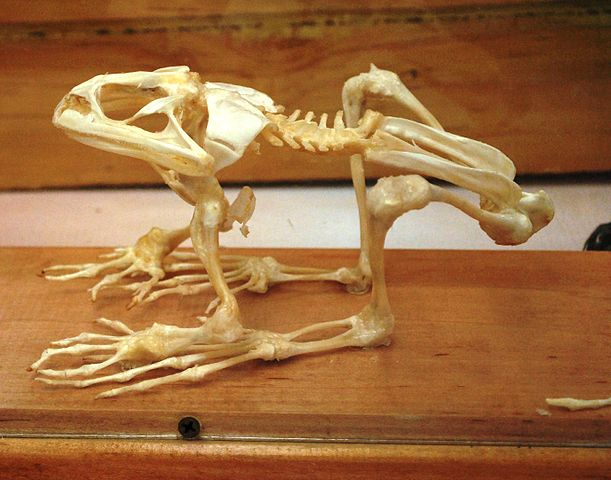 Skeleton of a frog in a museum