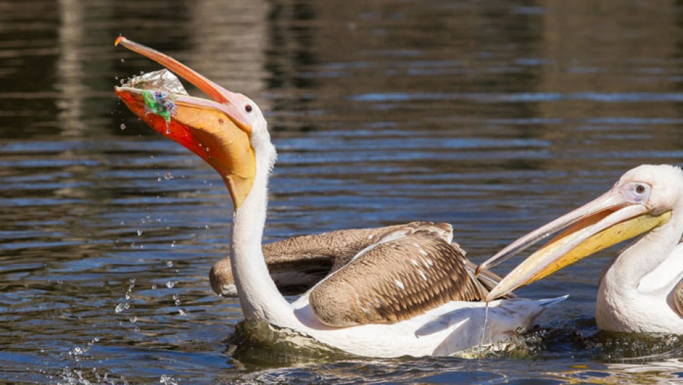 why seabirds snack on plastic