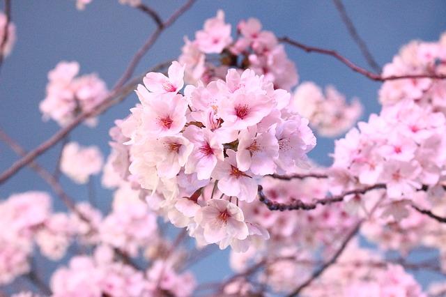 A Virtual Cherry Blossom Festival Youngzine