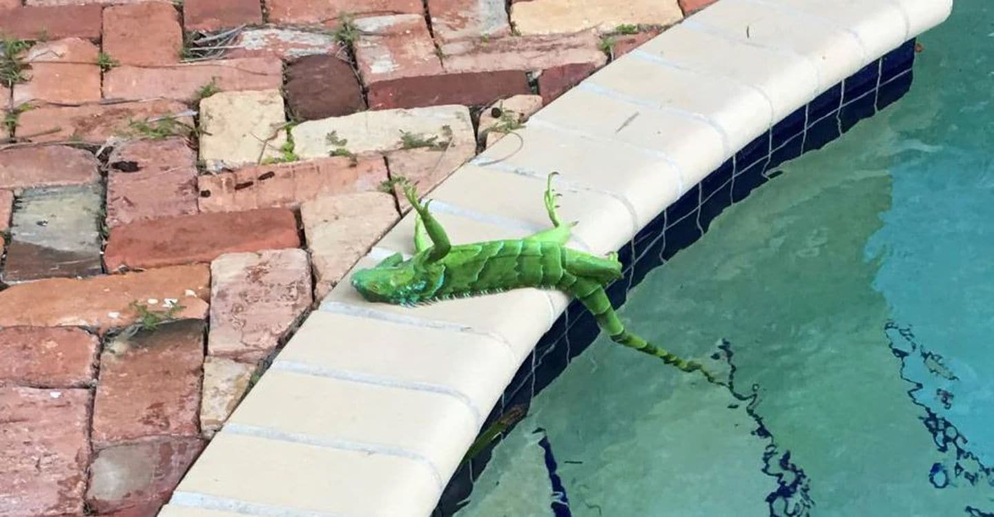 Iguanas fall in Florida