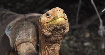 Diego the tortoise at the Charles Darwin Research Station