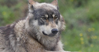 Close up of American Gray Wolf laying in grass