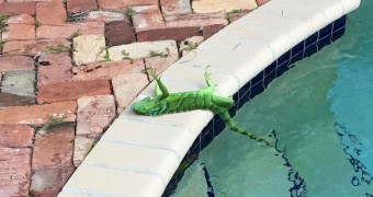 Iguana lying by a pool