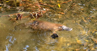 Platypus floating in murky water