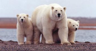 A family of polar bears