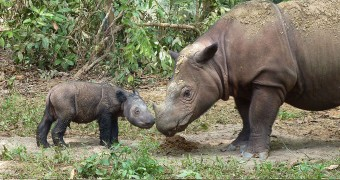 Sumatran rhino with baby