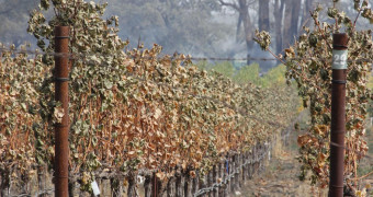 Grapes damaged by fires