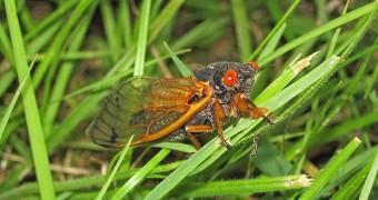 Cicada in the grass