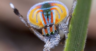 Peacock spider on leaf