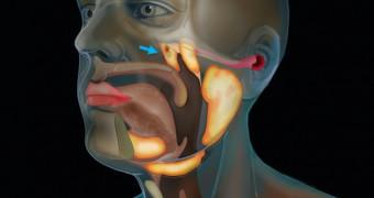 New salivary gland