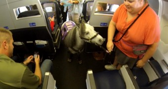 Miniature horse on plane