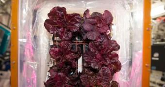 Lettuce grown in space