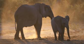 Grownup elephant and baby elephant walking through grasslands in Botswana, Africa
